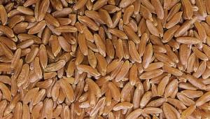 Kamut-grain