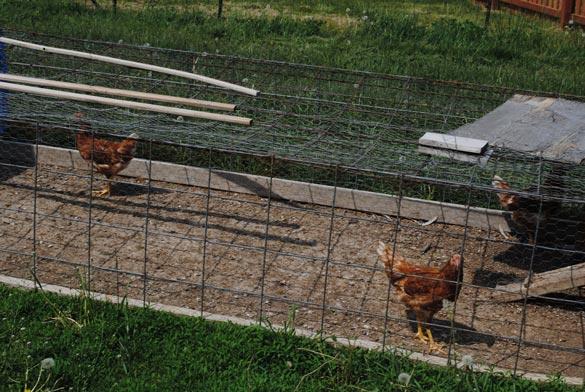 jowler-creek-chickens