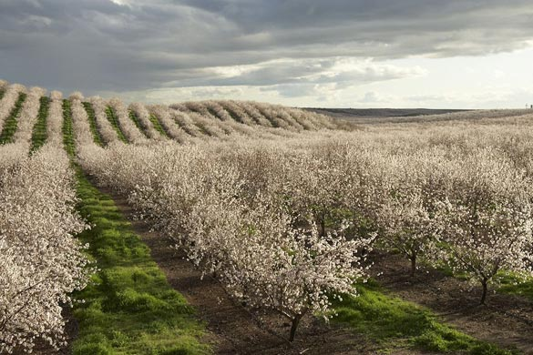 Almond orchard in full bloom. Credit: Almond Board of California
