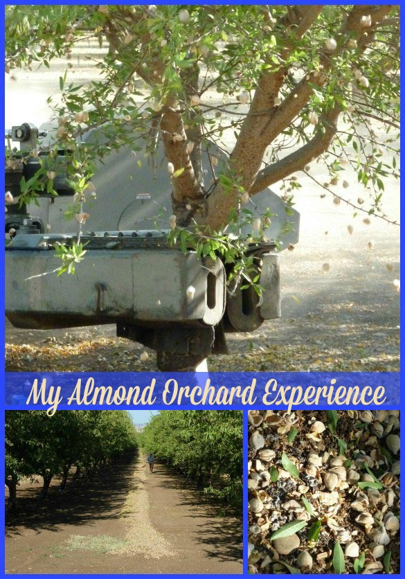 almond-orchard