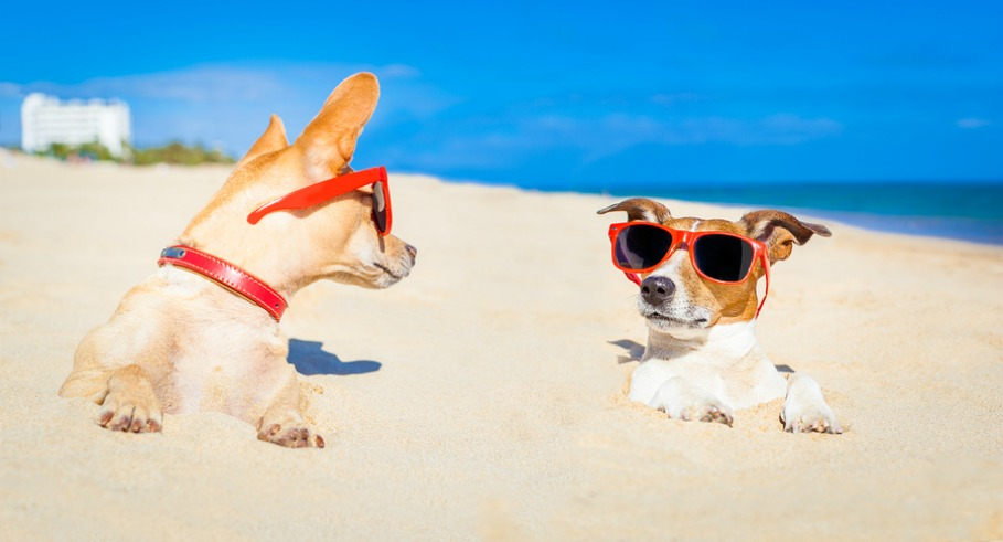 couple of two dogs buried in the sand at the beach on summer vacation holidays having fun and enjoying wearing red sunglasses fun and enjoying wearing red sunglasses