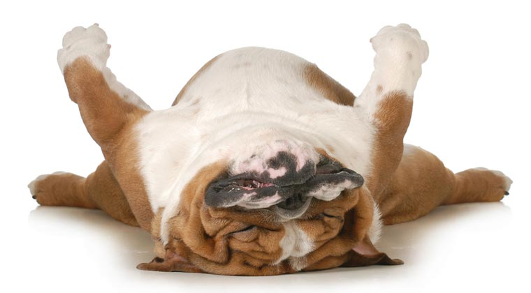 bigstock-dog-sleeping-upside-down-isola